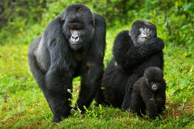 DR Kongo/Uganda: Berggorilla