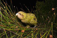 Neuseeland: Kakapo