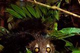Madagaskar: Aye-Aye