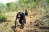 Östlicher Schimpanse