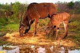 Östliche Riesen-Elenantilope