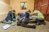 Gorilla-Freundschaft