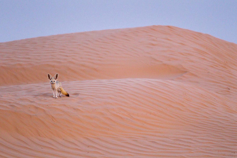 Charismatischer Wüstenbewohner