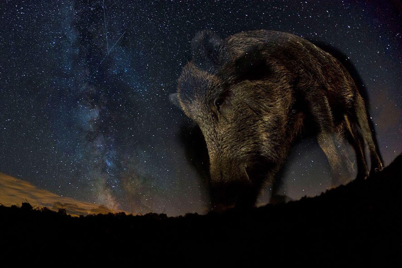 Nächtlicher Star (Säugetiere)