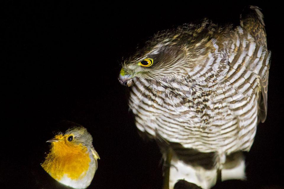 Vogelzug: Singvogel-Überfall auf der Ostsee