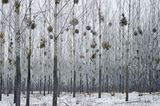 Wald voller Misteln