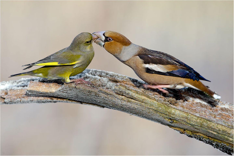 Kernbeißer und Grünfink