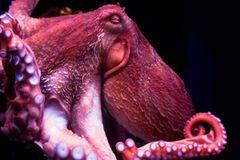 Oktopoden