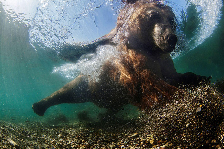 Bärenstarker Fischer