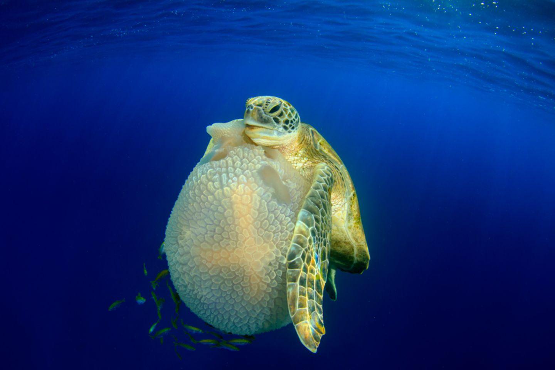 Schildkröte frisst Qualle