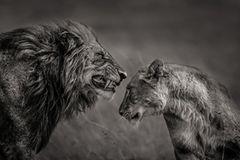 Löwenpaar