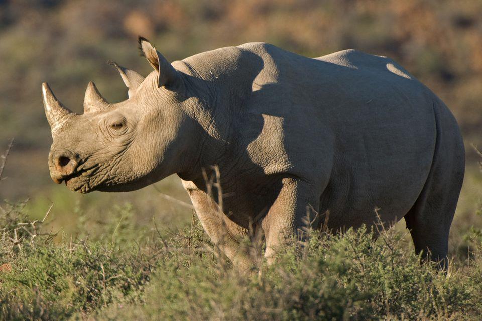 Nashörner: Der Kampf ums Horn