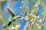 Der kleinste Vogel der Welt lebt auf Kuba