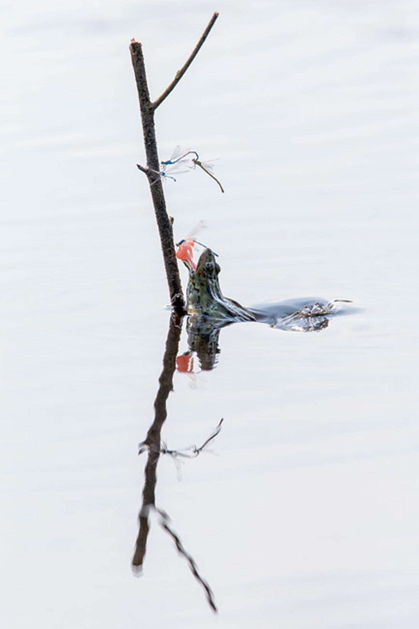 Libelle als Froschfutter