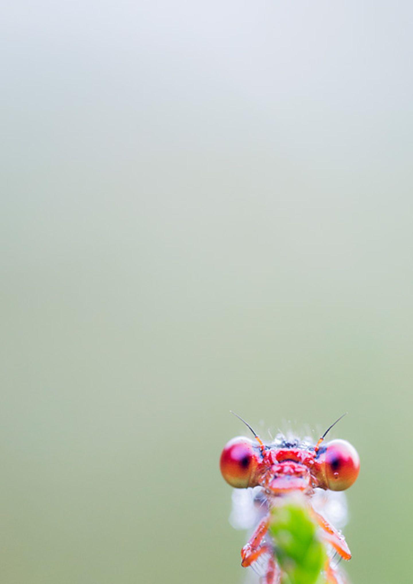 Rote Scharlachlibelle