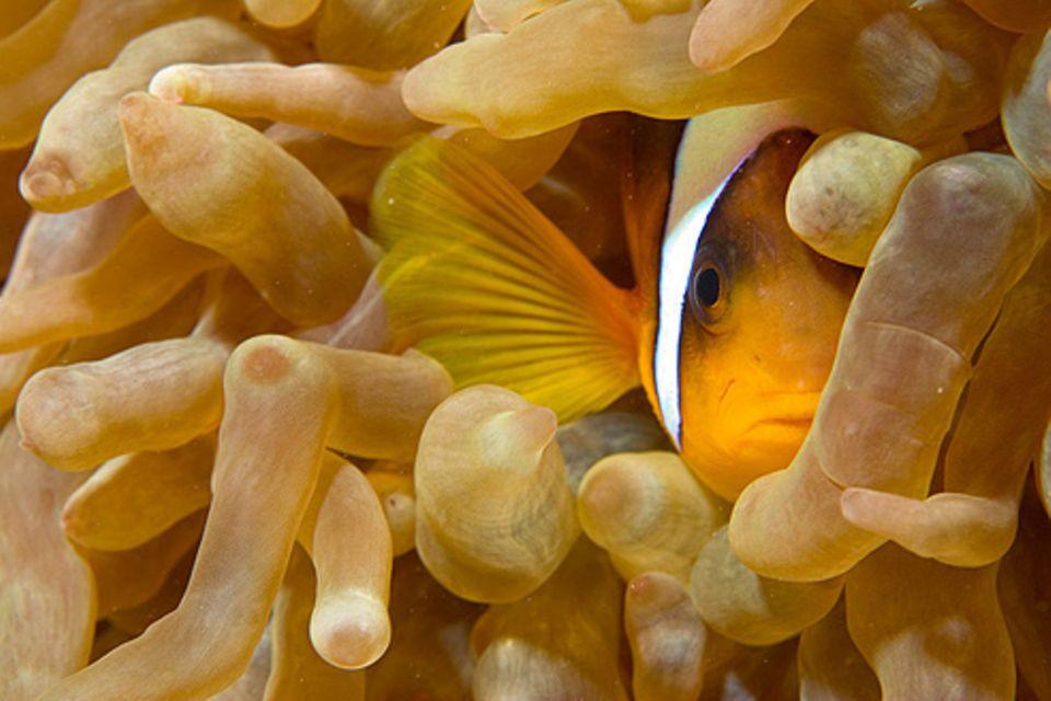 Schiebepuzzle: Nr. 4: Anemonenfisch