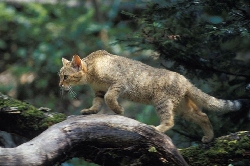Tiere: Im Dickicht sind Wildkatzen fast unsichtbar