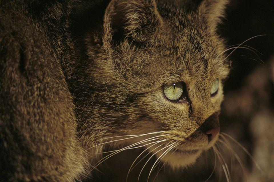 Tiere: Wildkatzen jagen nachts