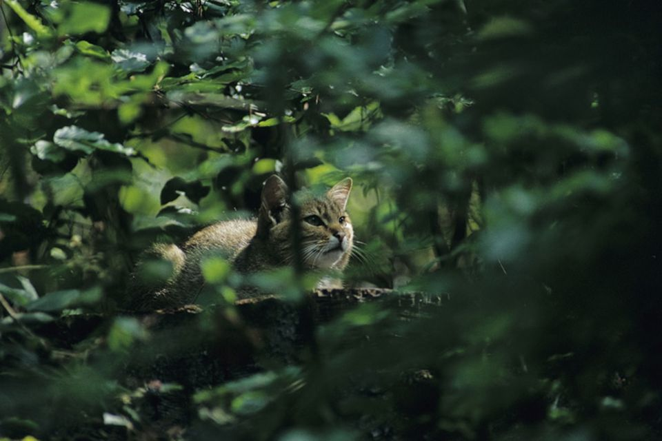 Tiere: Lautlos im Unterholz