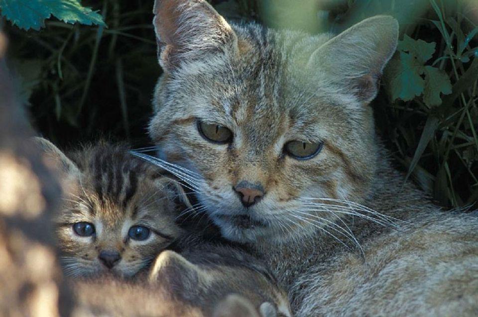 Tiere: Wildkatzen haben in der Regel 4 bis 6 Junge