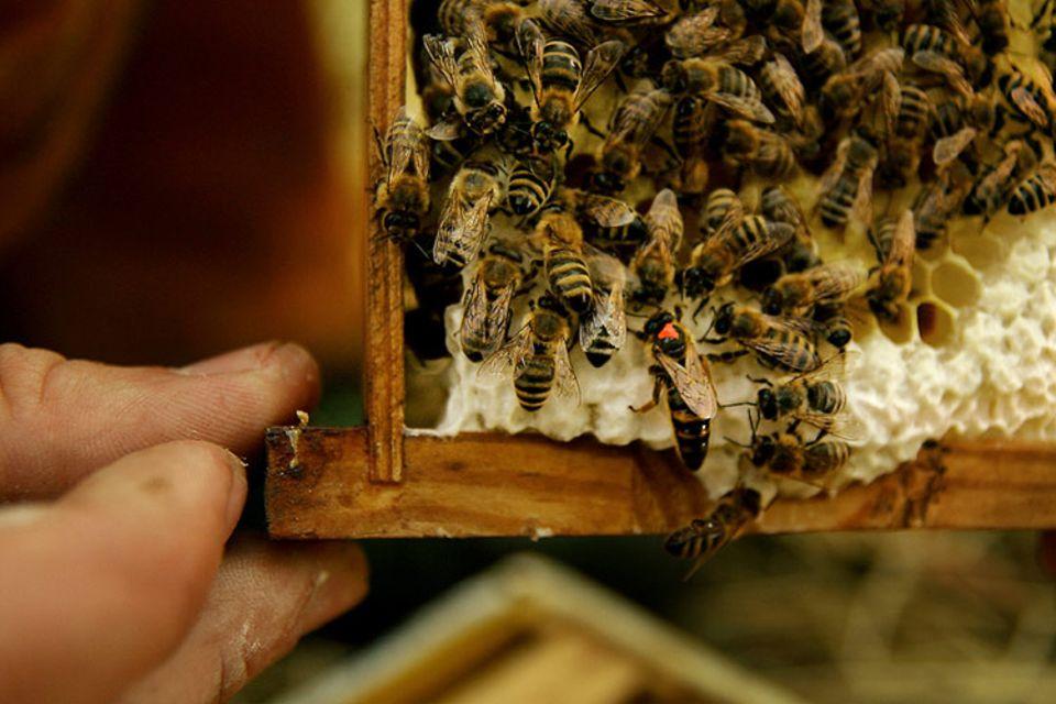 Beruf: Bienenkönigin und Arbeiterbienen auf einer Honigwabe