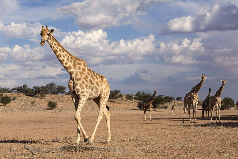Südafrika: Langhalsige Schönheiten: Giraffen