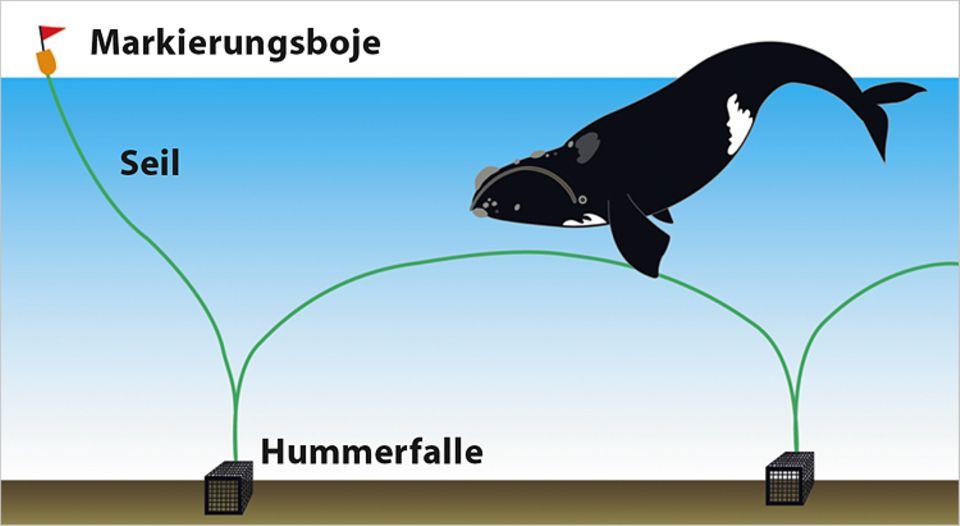 Tiere: Fischereinetze werden für die Nordkaper zur Falle