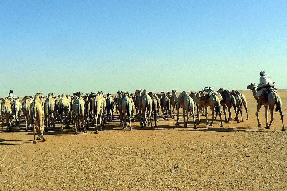Die letzten Kamelkarawanen der Sahara