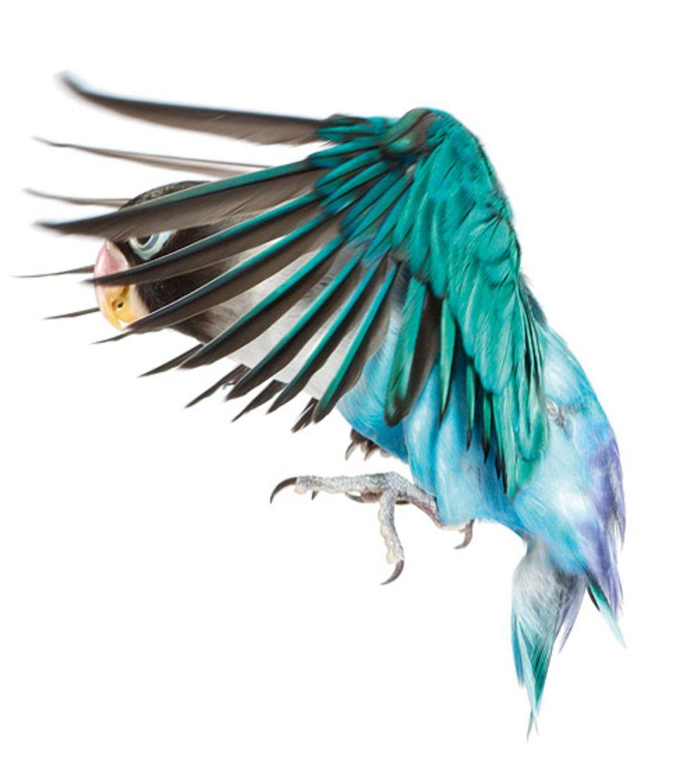 Evolution: Vögel (hier ein Schwarzköpfchen) haben sich rund 100 Millionen Jahre vor den Fledertieren entwickelt. Dennoch benutzen beide das gleiche Flugprinzip: leichte Knochen und große Tragflächen