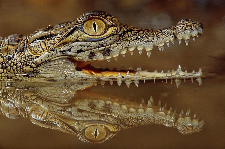 Redewendung: Krokodilstränen weinen