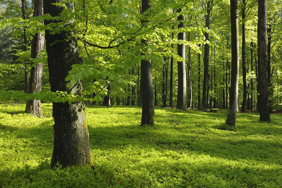 Waldzustand: Idylle im Frühling: Ein Buchenwald in Bayern. Besonders der Gesundheitszustand von Buchen und Eichen hat sich allerdings in den letzten Jahren stark verschlechtert
