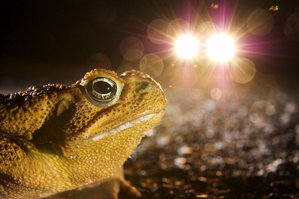 Ökologie: An die Dunkelheit angepasste Kröten werden von Kunstlicht geblendet