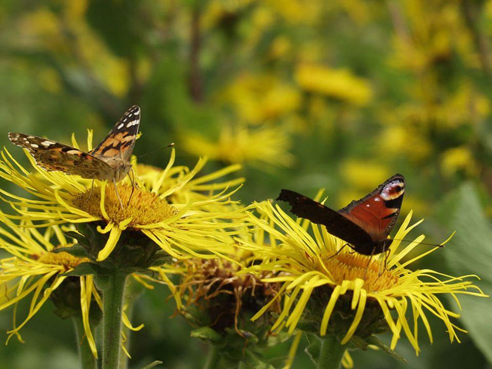 Biomasse: Auf den Wildpflanzenblüten finden viele verschiedene Falter Nahrung - hier ein Distelfalter und ein Tagpfauenauge