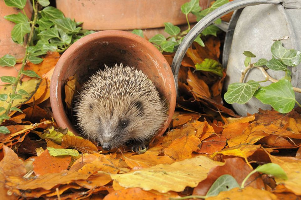 Nix wie raus: Igel und andere Tiere bauen mit Herbstlaub ihr Winterquartier.