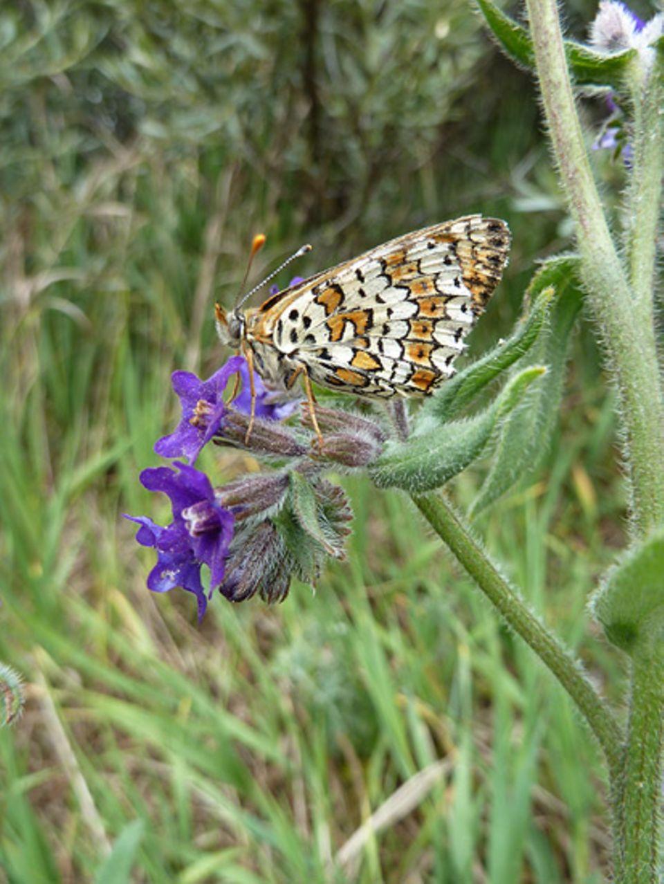 Naturschutz auf Truppenübungsplätzen: Ein Wegerich-Scheckenfalter ruht sich auf einer Ochsenzungen-Blüte aus