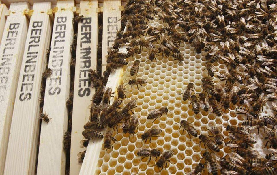 Naturschutz: Honigbienen fühlen sich in der Großstadt wohl - hier auf dem Berliner Dom