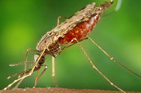 Medizin: Malaria in Deutschland?