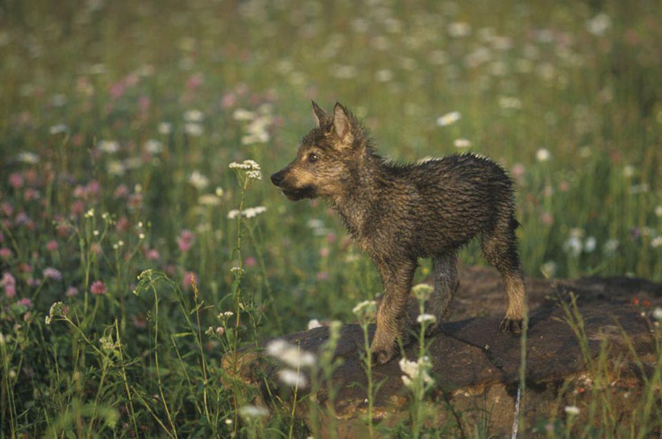 Tierkinder: Die ersten Tage des kleinen Wolfsjungen außerhalb seiner Geburtshöhle