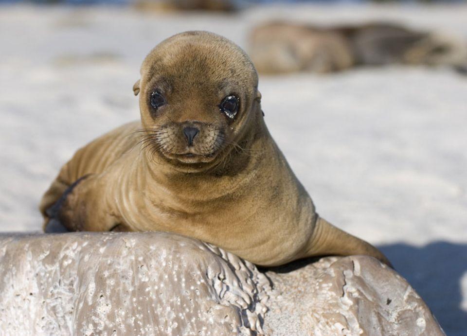Tierkinder: Schon bald wird der kleine Seelöwe mit den anderen um die Wette schwimmen