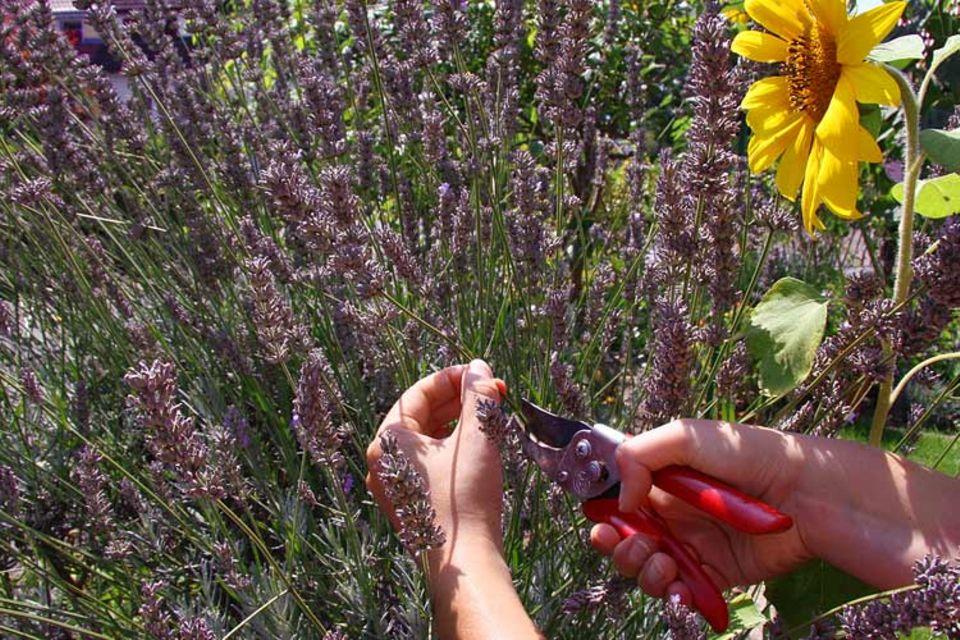 Tipps und Tricks: Ein paar Stiele Lavendel mit der Gartenschere abknipsen