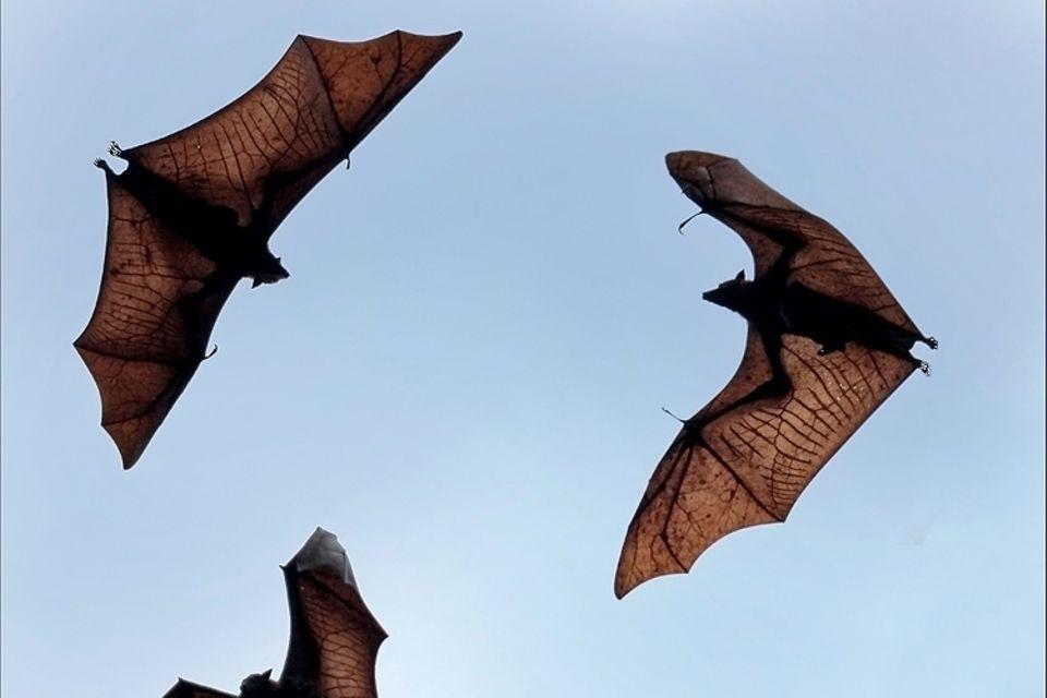 Flughunde: Fledermäuse: Die Jäger der Nacht