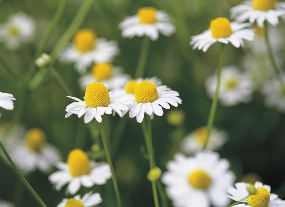 Tipps und Tricks: Eine gute Heilpflanze: die Kamille