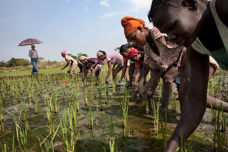 Äthiopien: Auf einem Saudi-Star-Testfeld pflanzen Äthiopierinnen Reis für die reiche Golfnation an. Das Ziel: eine Million Tonnen im Jahr