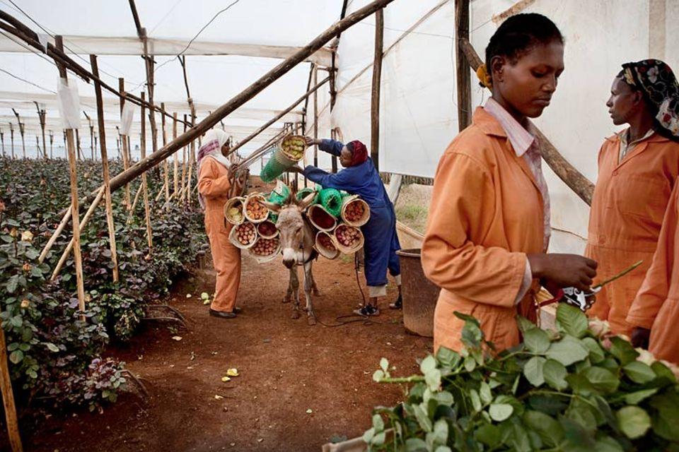 Äthiopien: Der französische Rosenzüchter Gallica hat auf acht Hektar 200 Arbeitsplätze geschaffen. Äthiopien ist zweitgrößter Blumenexporteur Afrikas