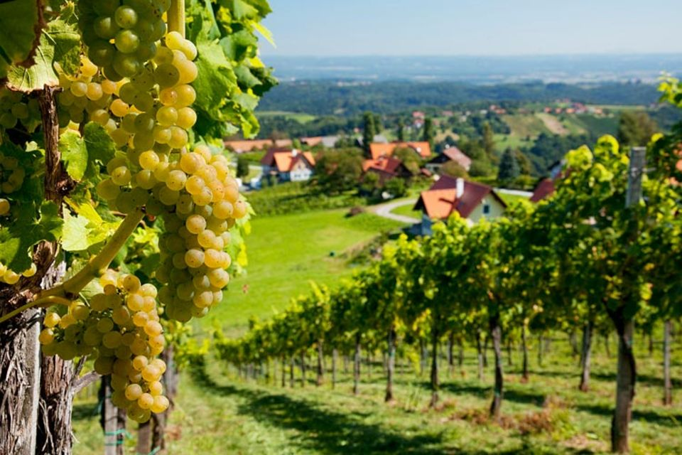 Weinwandern: Saftig und süß warten die Trauben in der Steiermark darauf, in Wein verwandelt zu werden