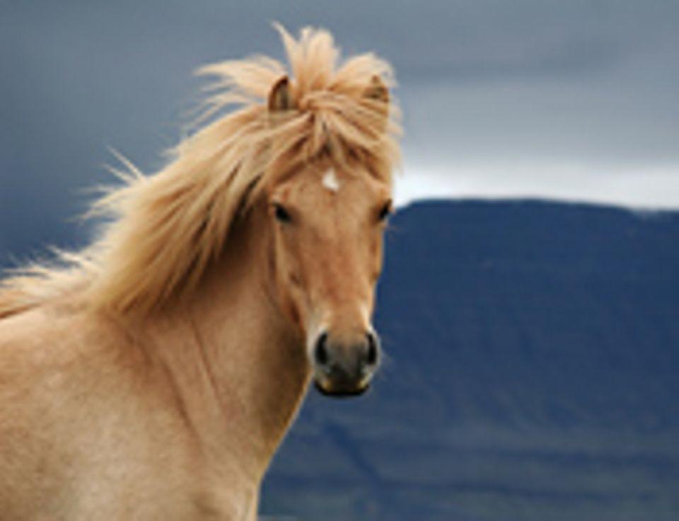 Redewendung: Dieses Pferd wird sich sicher nicht übergeben
