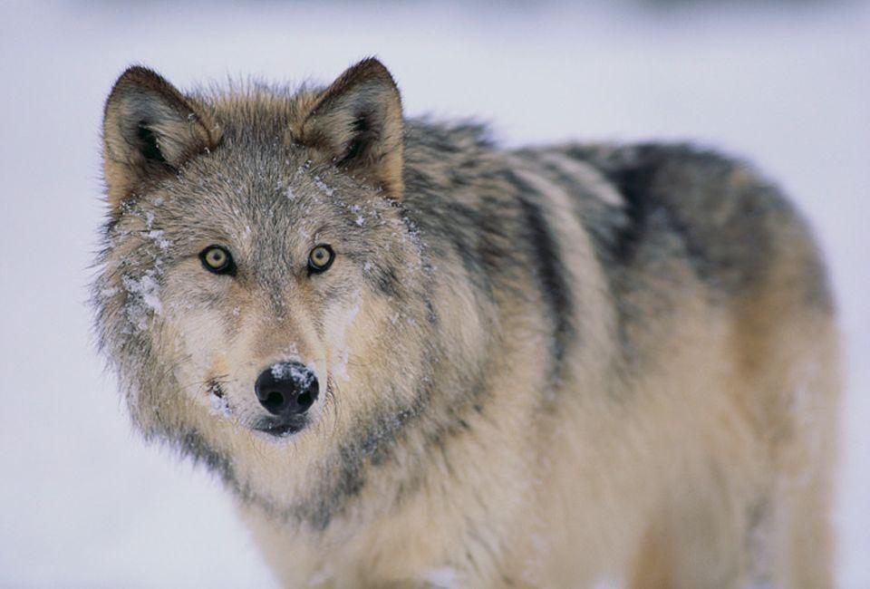 Umweltpolitik: Wieder in Deutschland heimisch: der Wolf