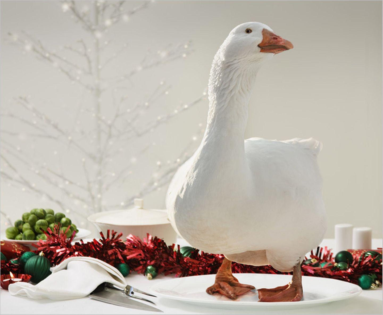 Redewendung: Diese Weihnachtsgans ist ganz schön lebendig