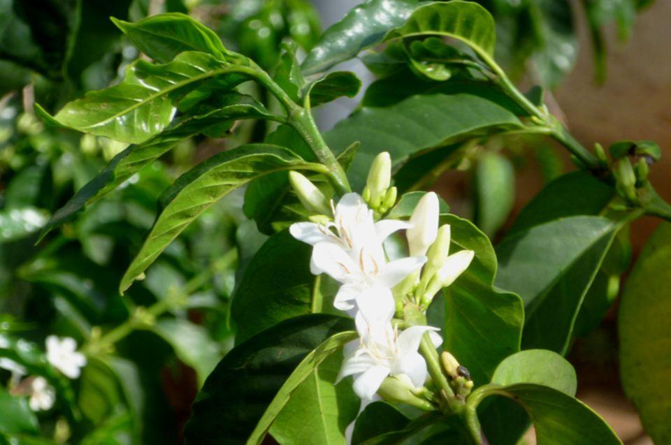 Die weißen Blüten des Kaffees verströmen einen intensiven, süßlich-fruchtigen Duft