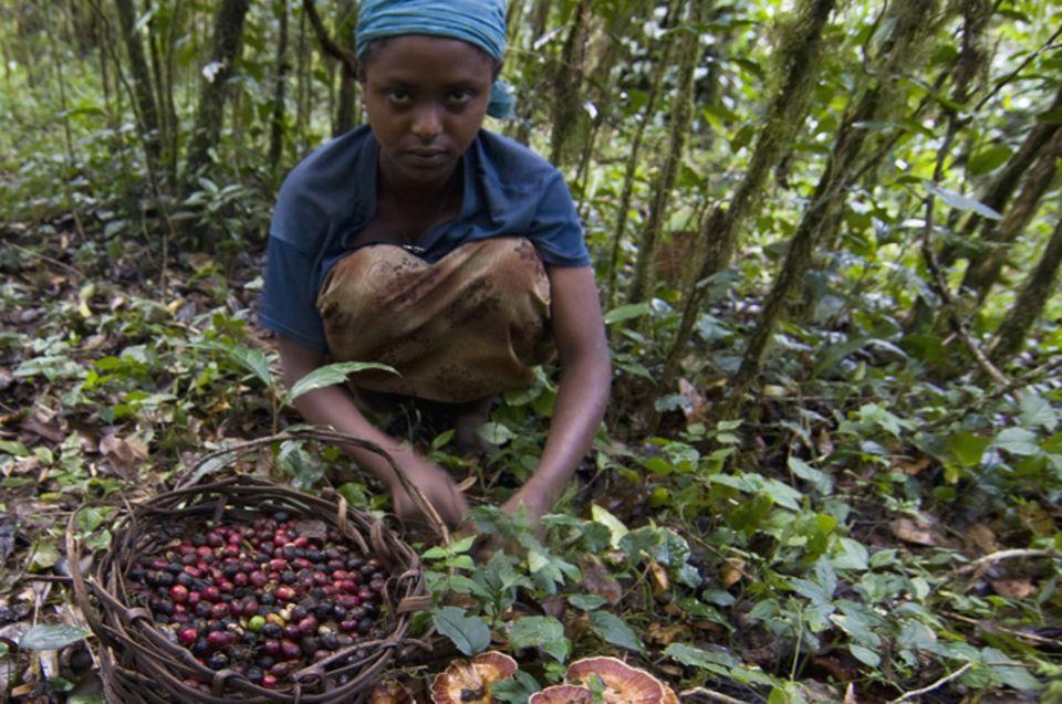 Der Kaffee entwickelt sich im Schatten von Baumriesen und wird per Hand von den Waldanwohnern geerntet